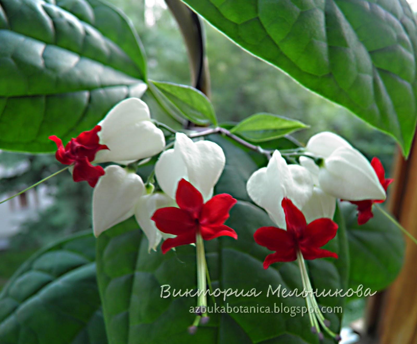 Домашние цветы фото и названия уход клеродендрум