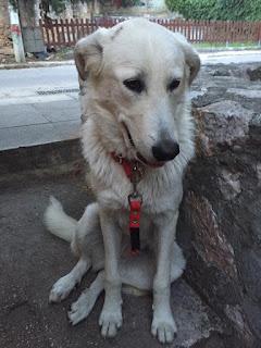 Τριγυρνάει στο Παλιό Ηρακλειο στην πλατεία Αγίου Λουκά σκυλάκι με κομμένο λουράκι.