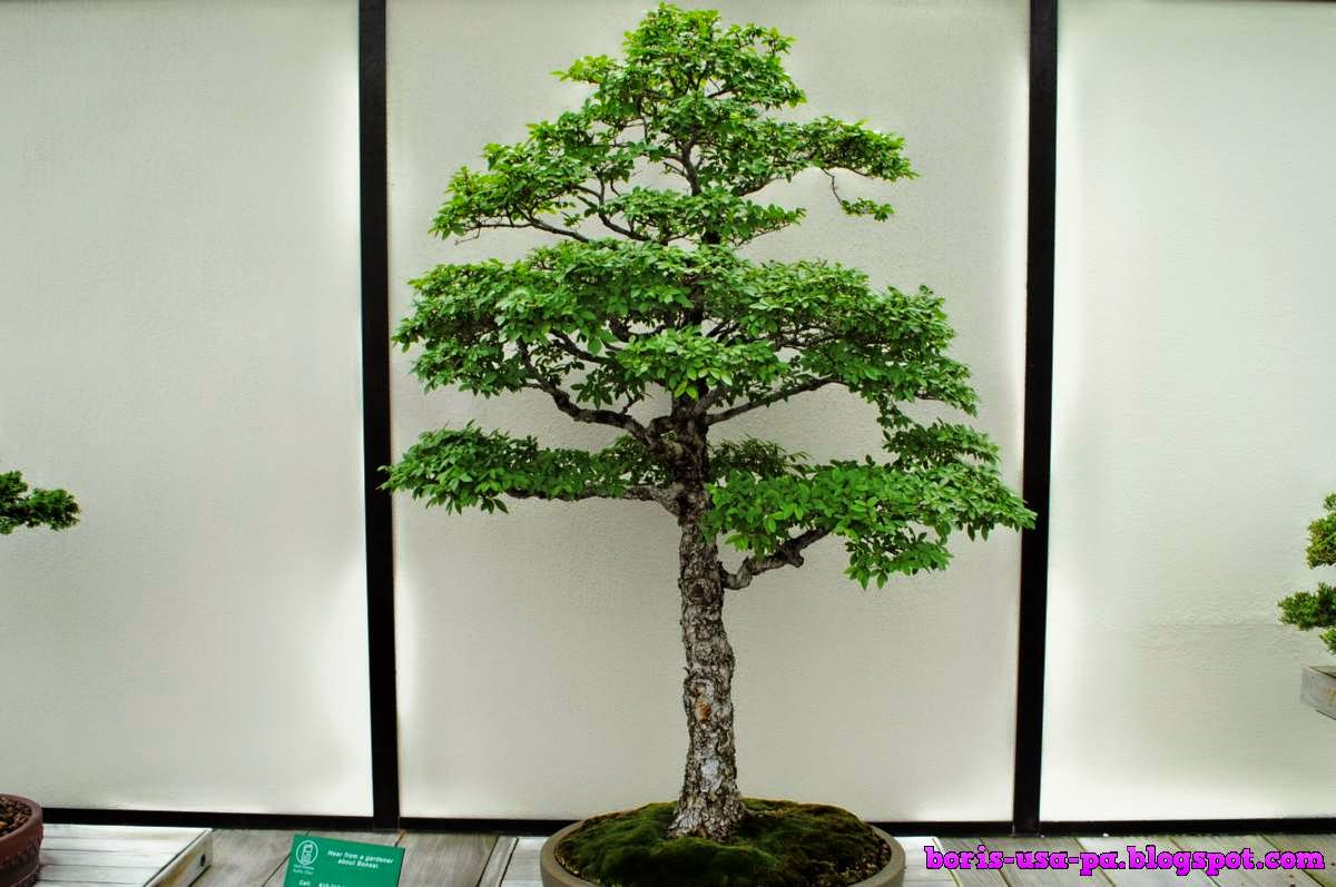 Bonsai Longwood Garden Collection Travel From Philadelphia