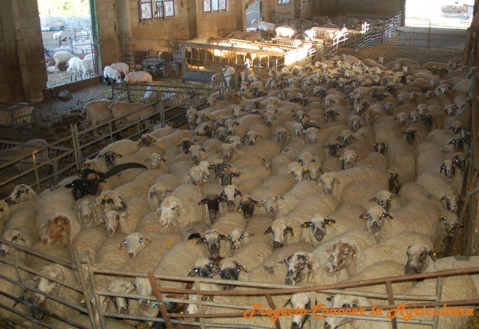 LOS CUATRO ESTÓMAGOS DE LA VACA - Conocer la Agricultura y la Ganadería