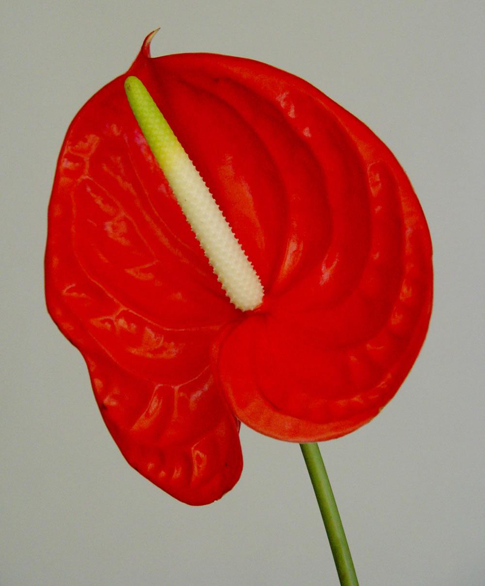 Im genes de flores y plantas flor de anturio for Plantas de interior anturio