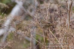 Lincoln's sparrow, October 2016