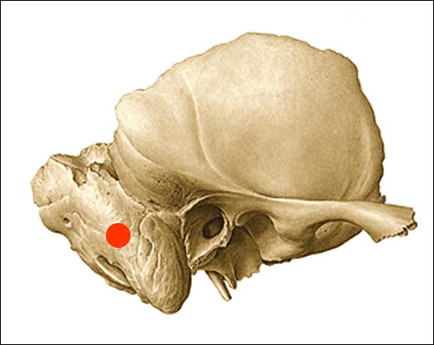 Cráneo – Neocráneo   .
