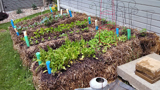 Straw Bale Garden in June- Everything is Growing
