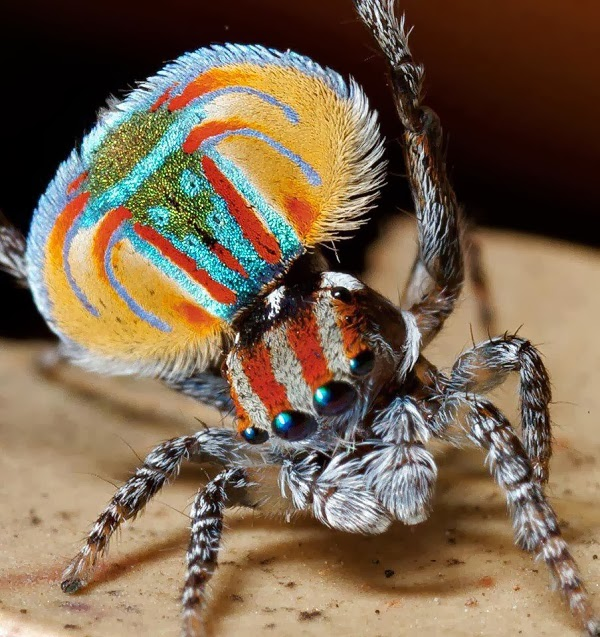 Peacock Spider- beautiful insects