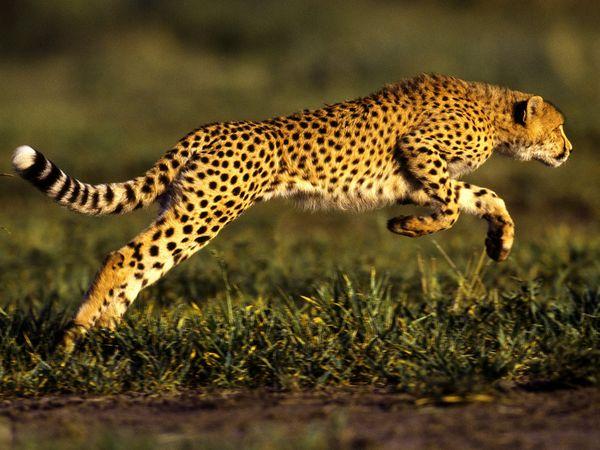 Cheetah Jumping