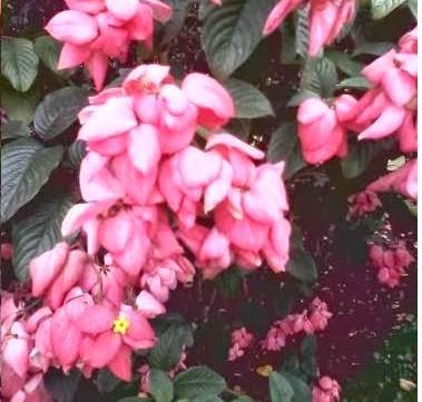 bunga nusa indah pink