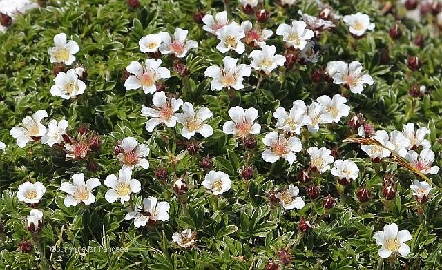 Breitblättriges Hornkraut Cerastium latifolium im Toten Gebirge