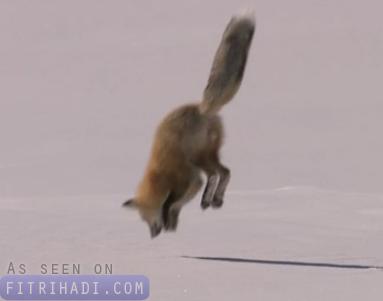 bagaimana musang cari makan dalam salji