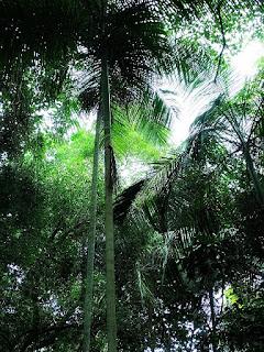 Árvore de palmito branco.