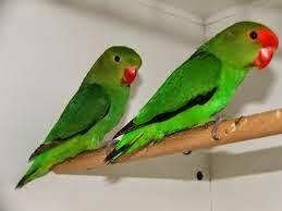 Lovebird Abisinia - Agapornis Taranta