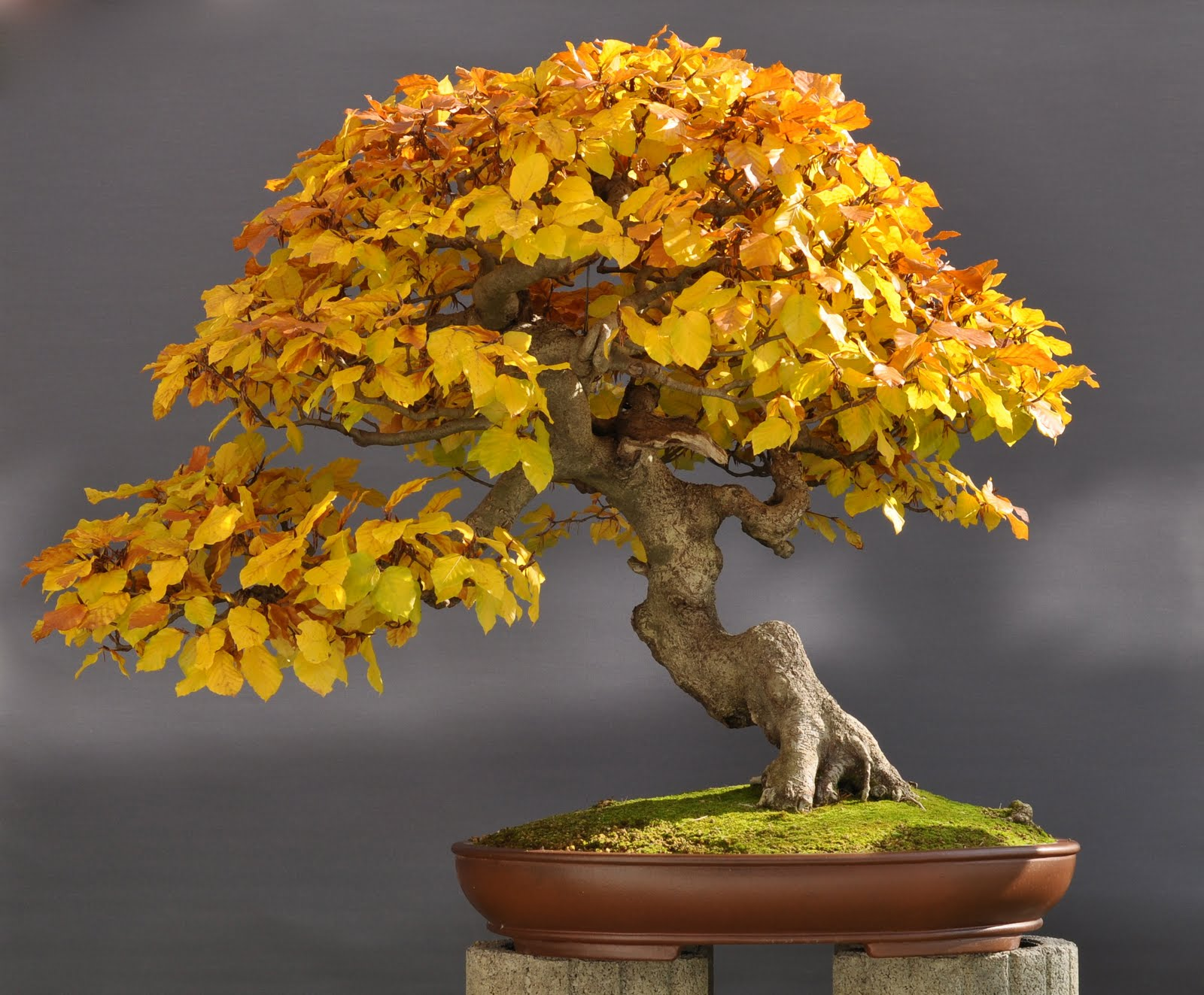 bonsai und beistellpflanzen herbststimmung. Black Bedroom Furniture Sets. Home Design Ideas