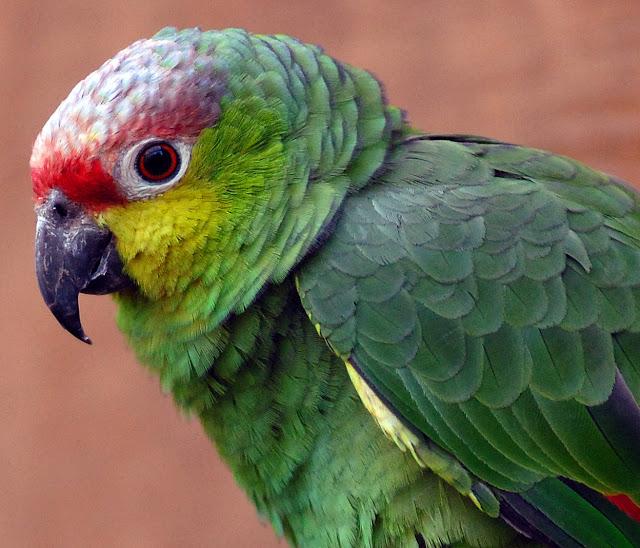 Beautiful Parrots Wallpapers