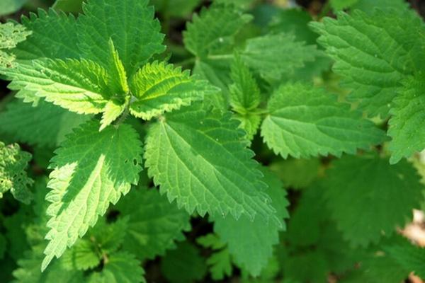 piante ed erbe commestibili italia - ortica