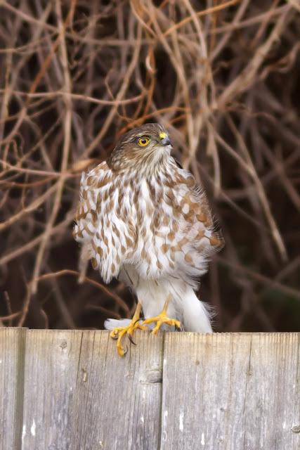 Female Coopers Hawk in St. Catharines Backyard