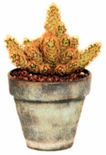 Маммиллярия удлиненная (Mammillaria elongata), как и большинство кактусов, будет хорошо себя чувствовать на жарком солнечном месте