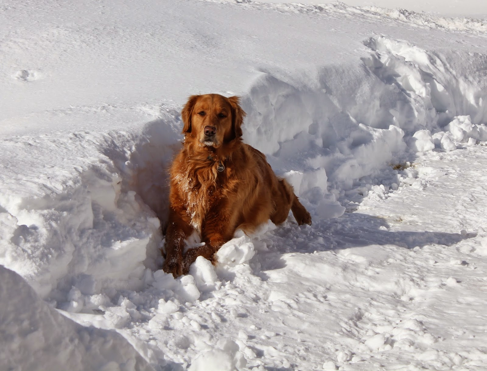 dog laying and stretching in snow