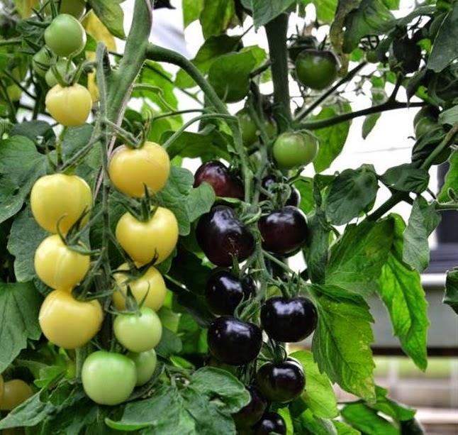 Tomato hitam dan putih pertama dunia dihasilkan