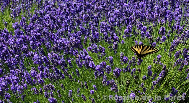 Plants In France: Lavender: Little known uses (and recipes ...