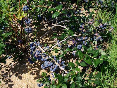 The blueberries were huge and there were so many of them that it was very easy to pick a basketful in a very short time.