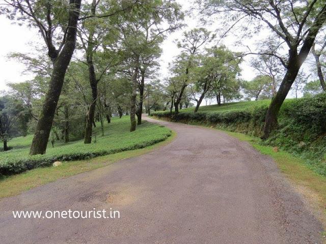 tea gardens of Dharamshala , himachal pradesh ,
