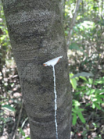Native Latex Tree in Analog Forestry