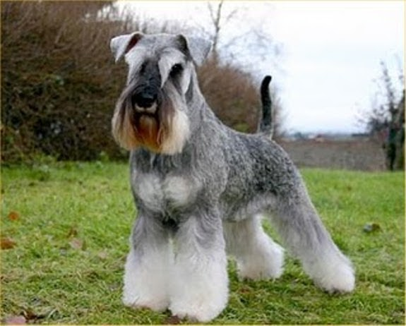 Miniature Schnauzer Pets Cute And Docile