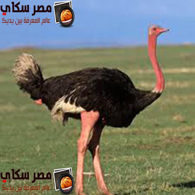 أسرار عن النعامة ولماذا تدفن رأسها وأهم ما يميزها Ostrich
