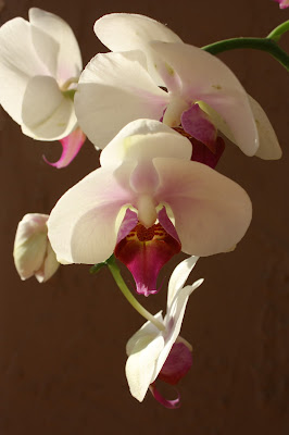 orchids, photograph, hovering, art, arte, S. Myers, Sarah Myers, flowers, plants, pink, white