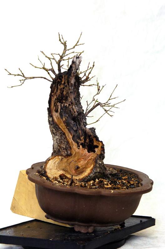 Cerisier Bois Mort : ce jour, la ramification avance, rempotage au printemps