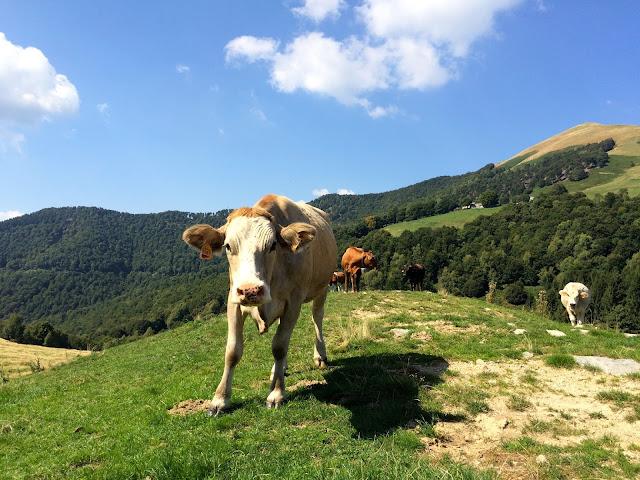 cows near Rifugio Boffalora