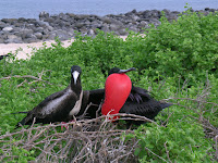 Male and Female Frigate Bird