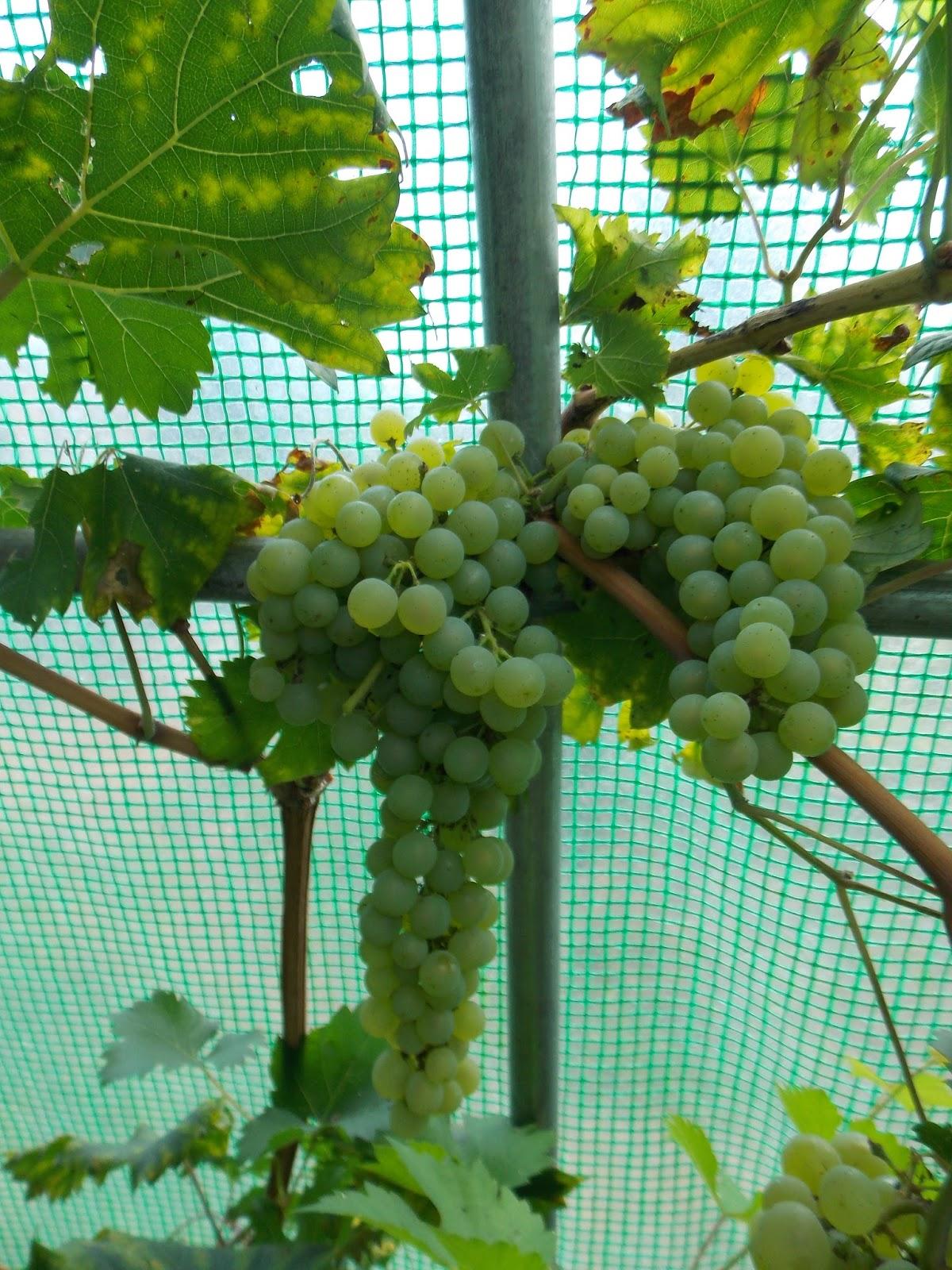 Ecolo bio nature permaculture urbaine et jardinage bio la vigne au jardin - Quand tailler une vigne ...