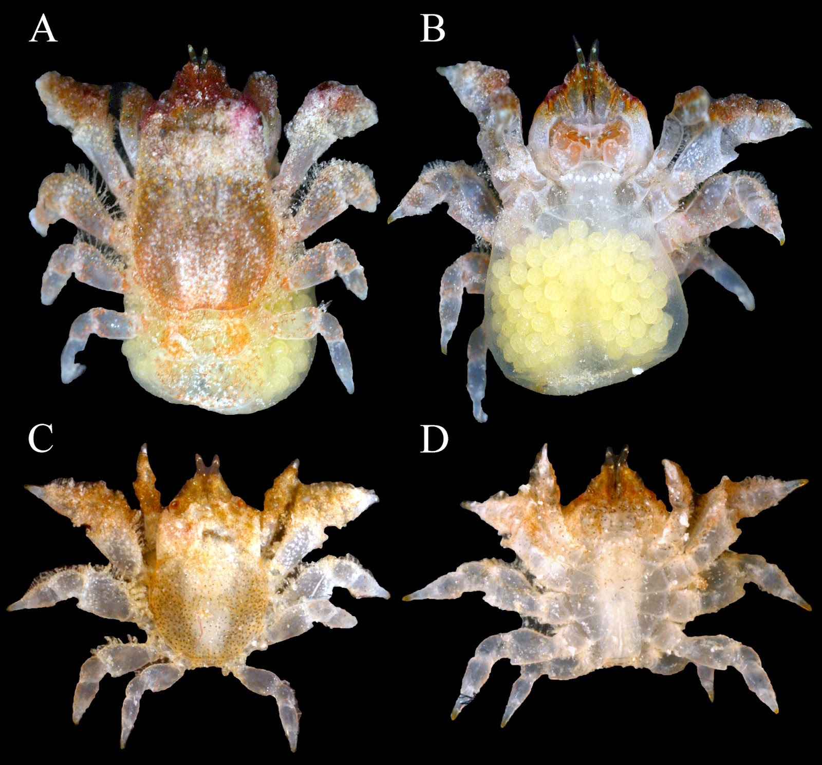 http://sciencythoughts.blogspot.co.uk/2014/10/a-new-species-of-gall-crab-from.html
