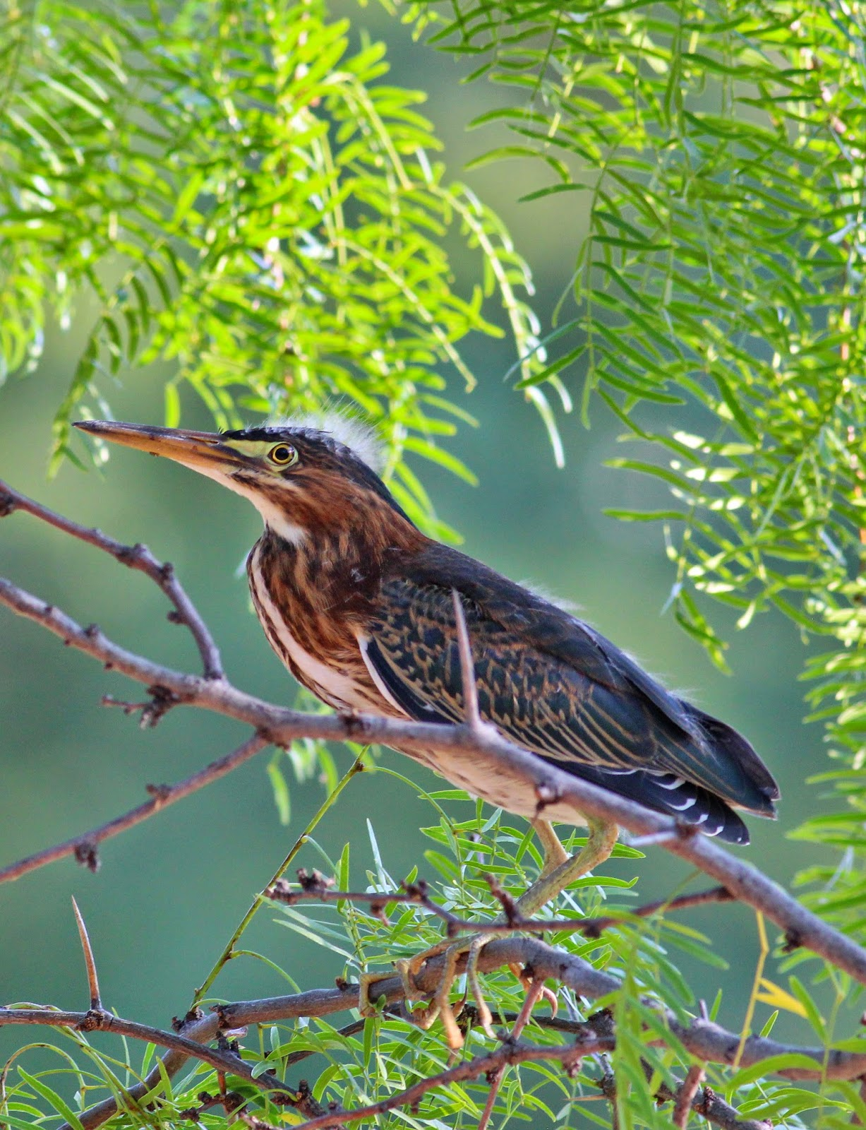 Green Heron Making Itself At Home Along >> Dallas Trinity Trails Green Herons Hunting The Trinity Riverbottoms