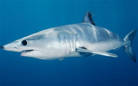 Mako Shark - Fishes