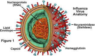 Ảnh mô phỏng cấu trúc của virus cúm.