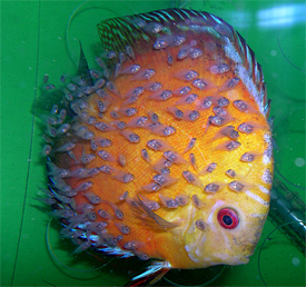 Discus budidaya ikan discus for Pesce discus