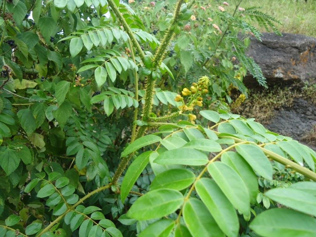 Caesalpinia bonduc, Caesalpineaceae, Pune