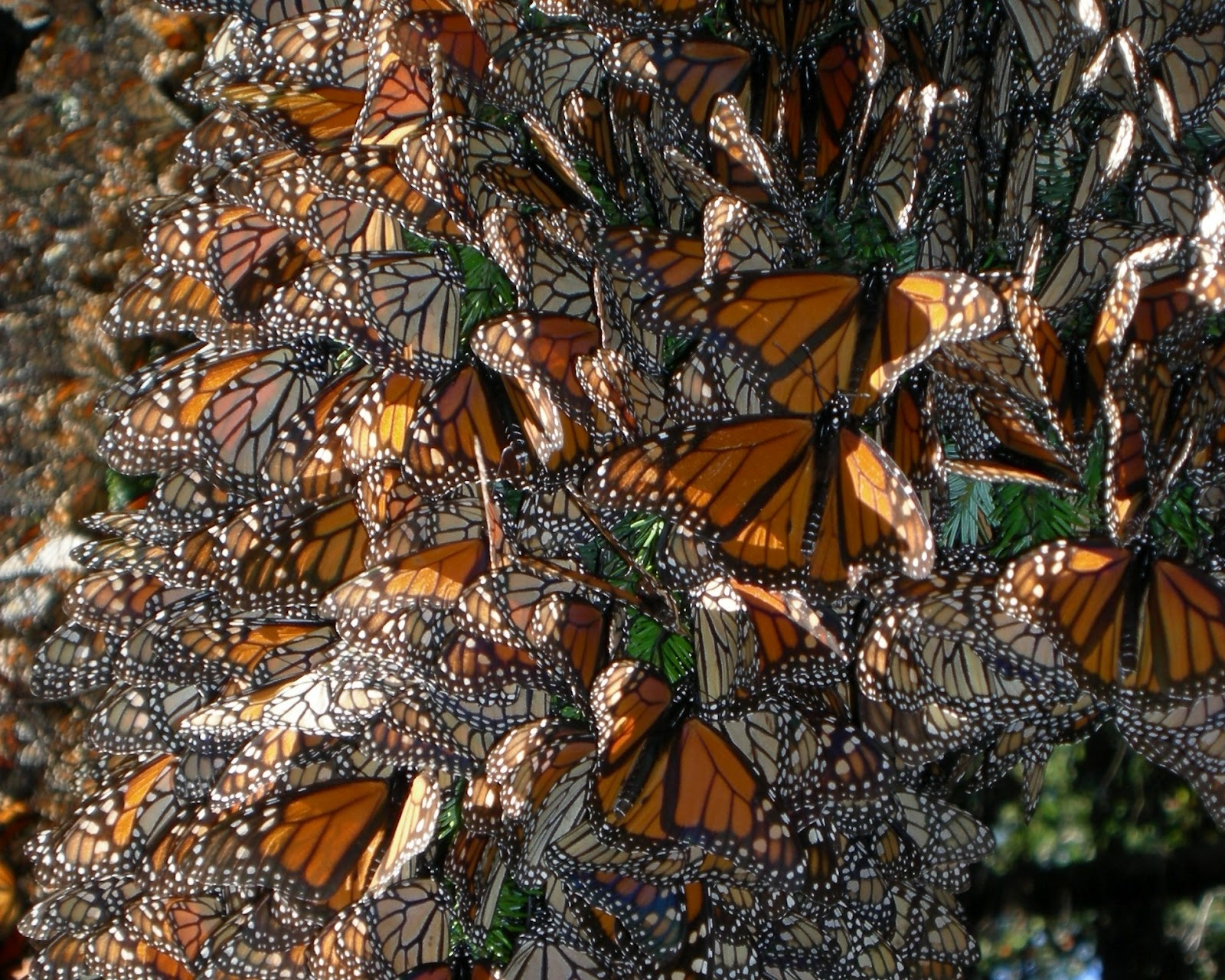 Monarch butterfly migration tree - photo#24