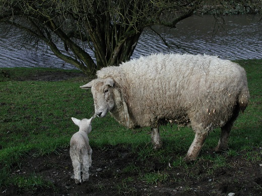 baby lamb newborn sheep
