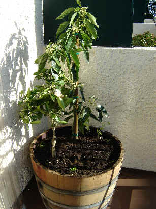 Dwarf Avocado Tree http://flowerdalenurseries.blogspot.com/2011/09/fruit-tree-sportlight-dwarf-avocado.html