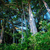 Hai cây đa ngàn tuổi ở Sơn Trà