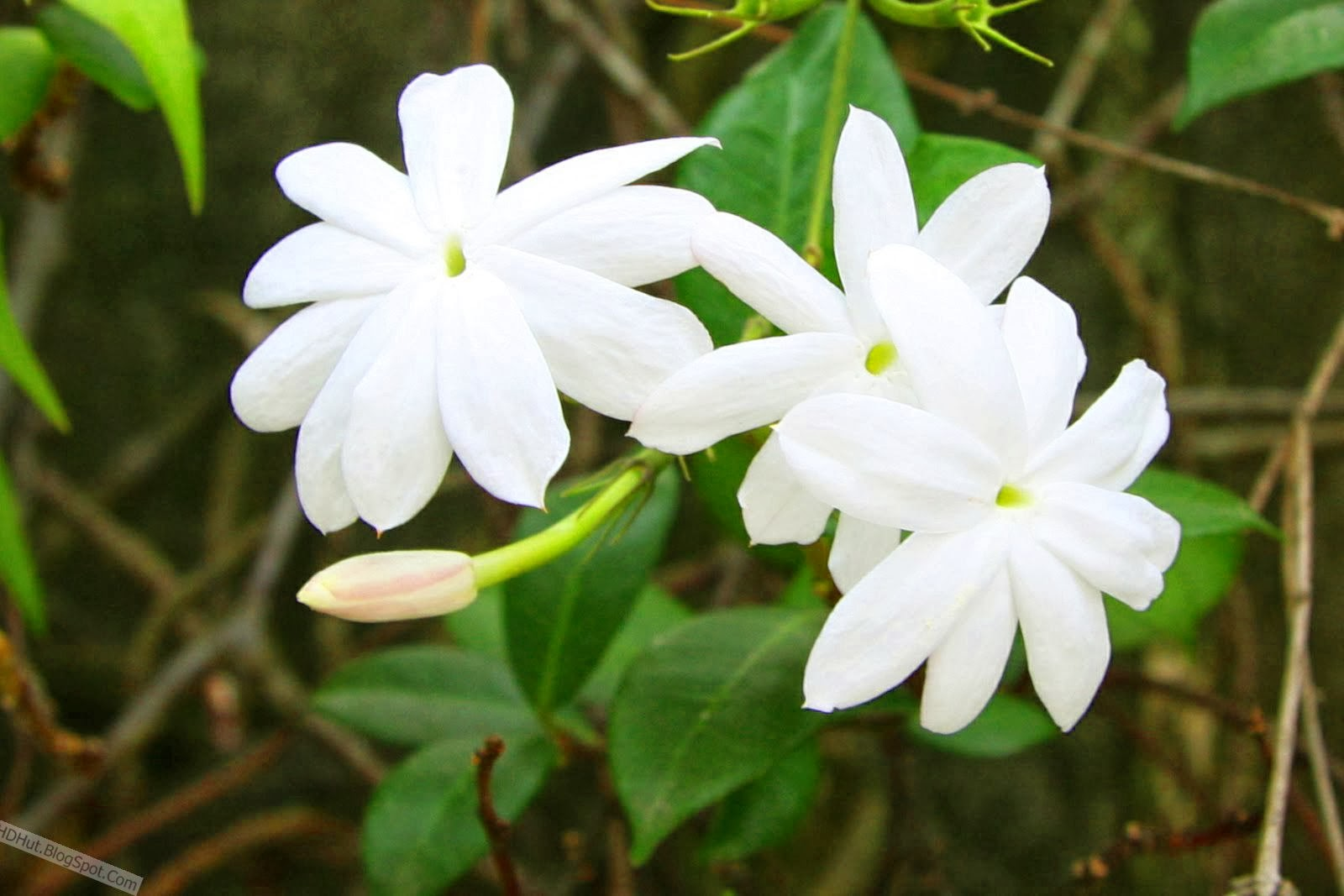 Oneimiratespot top 20 jasmine flower wallpapers in hd the fruits of jasmines are berries that turn black when ripe here we have some of this type wallpapers in hd hope youll like it izmirmasajfo
