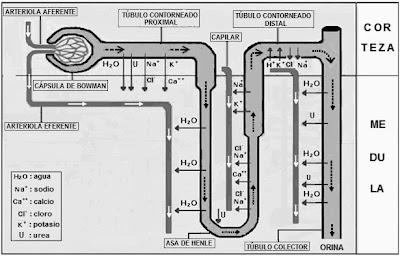 procesos de filtración, reabsorción, secreción y excreción renal