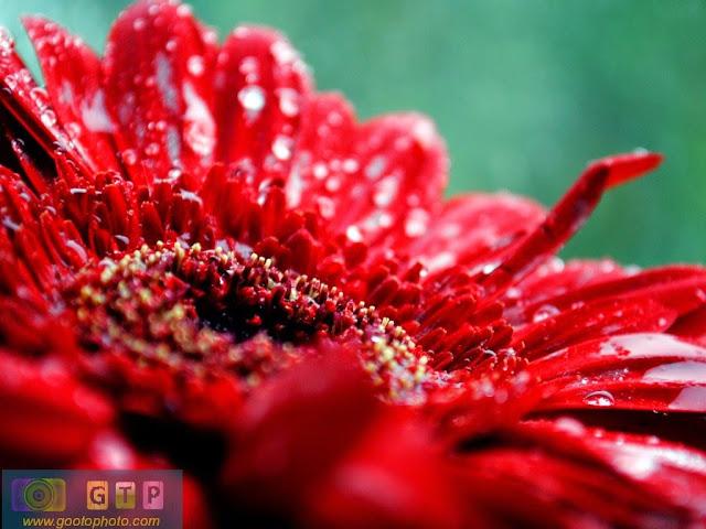 صور ورد احمر روعة وردة حمراء جذابة