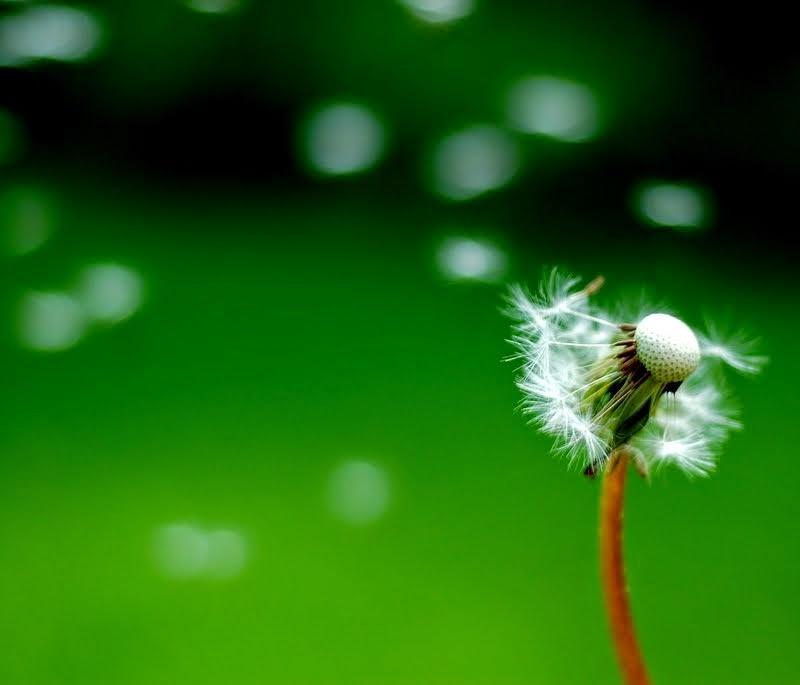 dandelion flowers 3