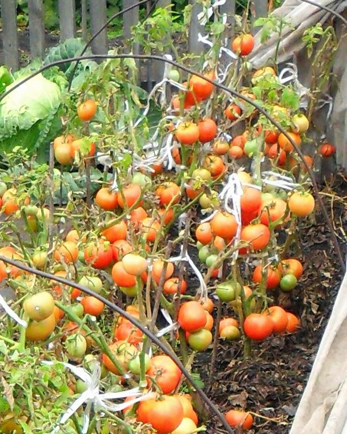 Сегодня собрал последние помидоры - безрассадные