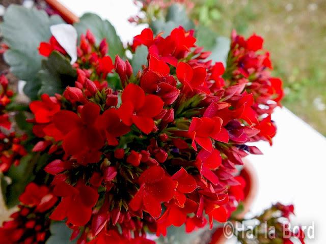 flori rosii hotel florica venus