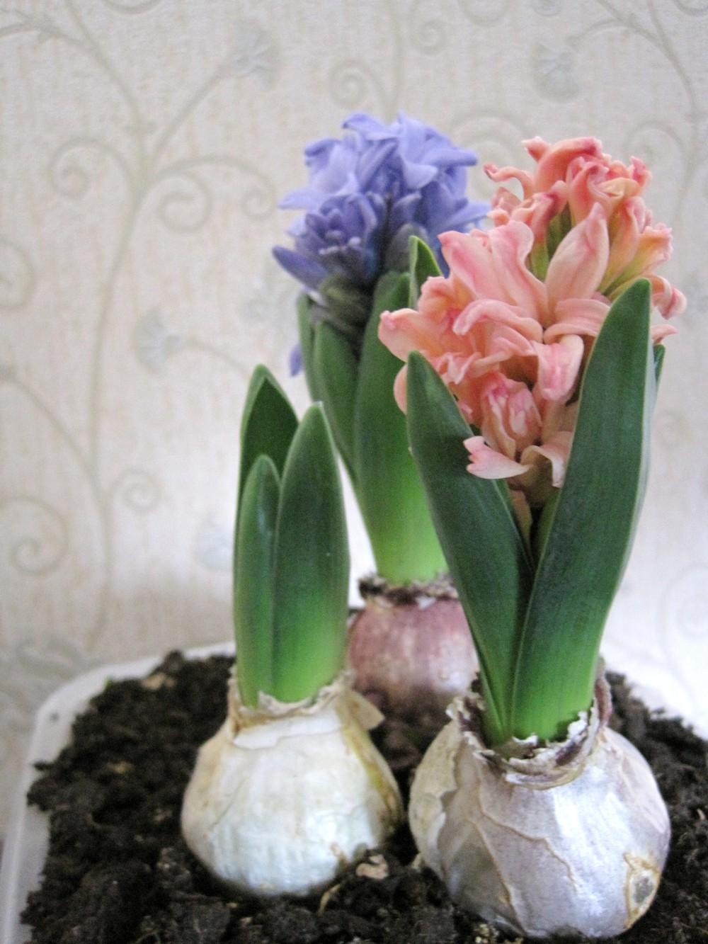 Луковичные в домашних условиях фото
